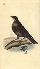 Ring ouzel (female) from Edward Donovan's Natural History of British Birds  London  1818.