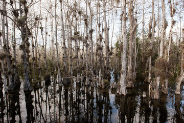 Cypress trees growing in Everglades National Park  Florida  USA