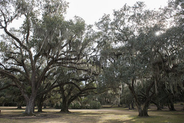 Spanish moss growing on live oak trees  Avery Island  Louisiana  USA