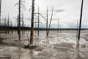 Dead trees in a geyser basin of Yellowstone National Park  Wyoming  USA