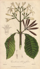 Red bark  Cinchona oblongifolia