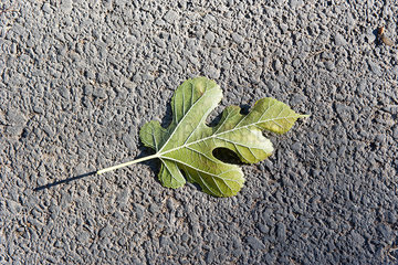 Fig leaf fallen on the ground