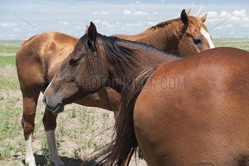 Wild horses  Badlands National Park  South Dakota  USA
