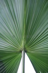 Palmzweig Blatt