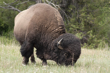 American bison grazing in the National Bison Range  Montana  USA
