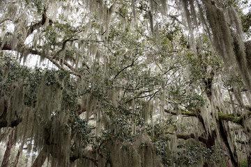 Spanish moss hanging from trees  Jekyll Island  Georgia  USA