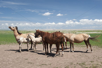 Wild horses in Badlands National Park  South Dakota  USA
