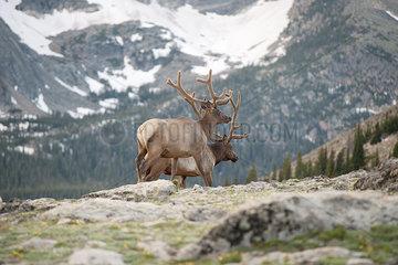 Elk bulls  Rocky Mountain National Park  Colorado  USA