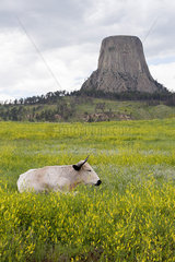 Bull lying down in pasture near Devils Tower National Monument  Wyoming  USA
