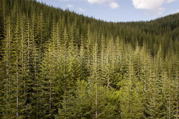 Evergreen forest  Washington  USA