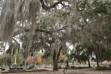 Live oak tree covered with Spanish moss in Old Live Oak Cemetery  Selma  Alabama  USA