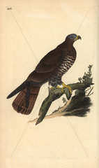 Honey buzzard from Edward Donovan's Natural History of British Birds  London  1818.