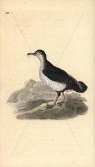 Manx shearwater from Edward Donovan's Natural History of British Birds  London  1818.