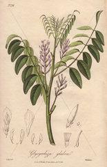 Liquorice  Glycyrrhiza glabra