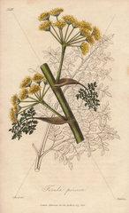 Ferula persica