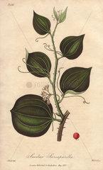 Sarsaparilla  Smilax regelii