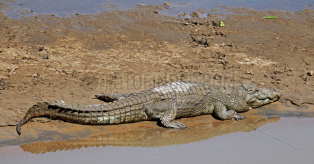 Nilkrokodil im Luangwa Fluss  South Luangwa Nationalpark  Sambia; crocodile in Luangwa River  Zambia  Crocodylus niloticus