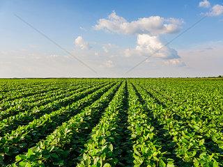 Serbia  Vojvodina. Green soybean field  Glycine max