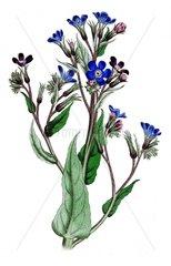 Italienische Ochsenzunge Anchusa azurea Zierpflanze