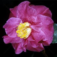 Kamelie  Camellia