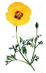 Kalifornischer Goldmohn eschscholzia californica
