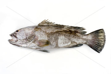 Fresh saltwater white grouper as top view on white background with copy space _ isolated