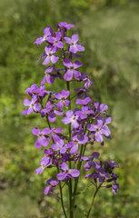 Nachtviole 'Hesperis matronalis'