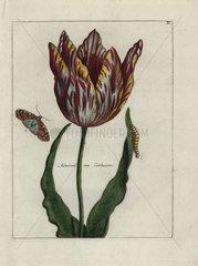 Admiral van Enkhuizen tulip from Nederlandsch Bloemwerk 1794.