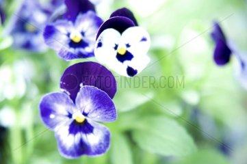 Stiefmuetterchen Blume Blueten