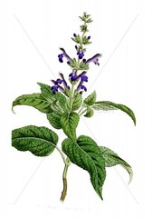 Serie Heilkraeuter Kraeuter Echter Salbei Salvia officinalis