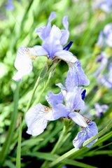 Blumen Bluete Schwertlilie