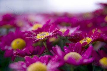 Rote Margerite Blueten Blumen Balkonblume Regentropfen