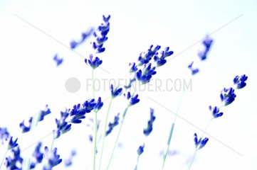 Lavendel Blueten abstrakt