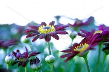 Rote Margerite Blueten Blumen Balkonblume Topfblume