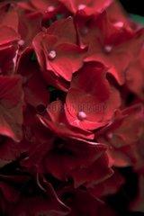Blume Bluete Nahaufnahme Hortensie Detail