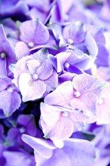 Blume Bluete Nahaufnahme Hortensie Detail 2
