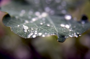 Regentropfen Kapuzinerkresse Blatt Silbrig