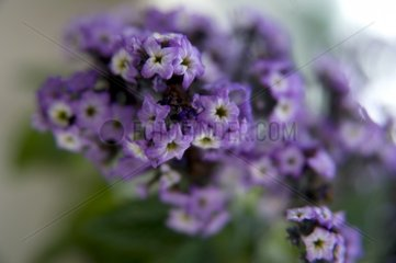 Vanilleblume Bluete