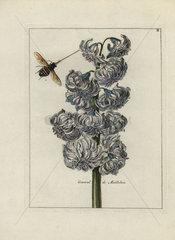 General de Maillebois hyacinth from Nederlandsch Bloemwerk 1794.