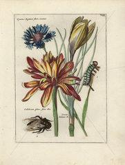 Saffron crocus  autumn crocus and cornflower from Nederlandsch Bloemwerk 1794.