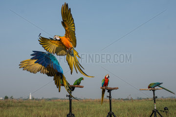 INDONESIA-TANGERANG-MACAW PARROTS