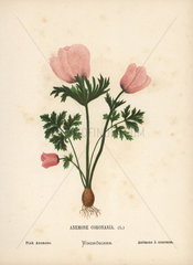 Pink anemone  Anemone coronaria