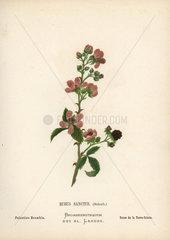 Palestine bramble  Rubus sanctus