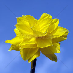 Narzisse  Narcissus