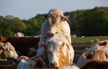 Brandenburg/Havel  Deutschland  Zuchtbulle beim Decken einer Kuh