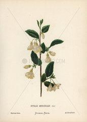 Storax tree  Styrax officinalis