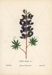 Blue lupin  Lupinus pilosus