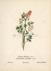 Fumitory  Fumaria anatolica