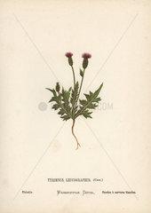 Thistle  Tyrimnus leucographus