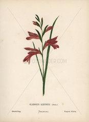 Sword flag  Gladiolus aleppicus